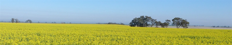 Canola and Beans 004.JPG